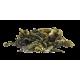Camellia sinensis Gotland - skörd 0002