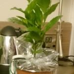 Tvåårig teplanta