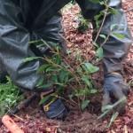 Plantering av treårig teplanta