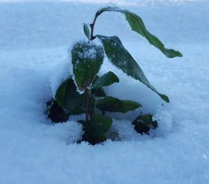 Teplanta i snö