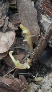 Levande rötter på medtagen teplanta