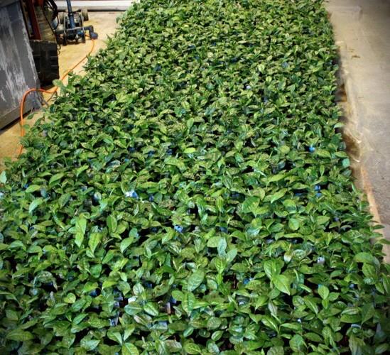Ett gotländskt teplantage
